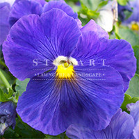 Pansy Crown Blue