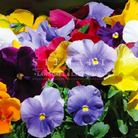 Pansy Crown Mix