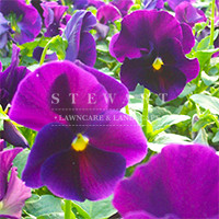 Pansy Crown Purple