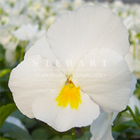 Pansy Crown White