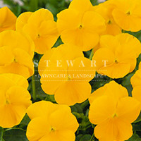 Pansy Crown Yellow