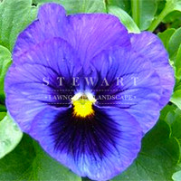 Pansy Majestic Blue