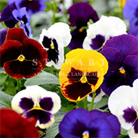 Pansy Majestic Mix