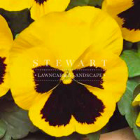 Pansy Majestic Yellow